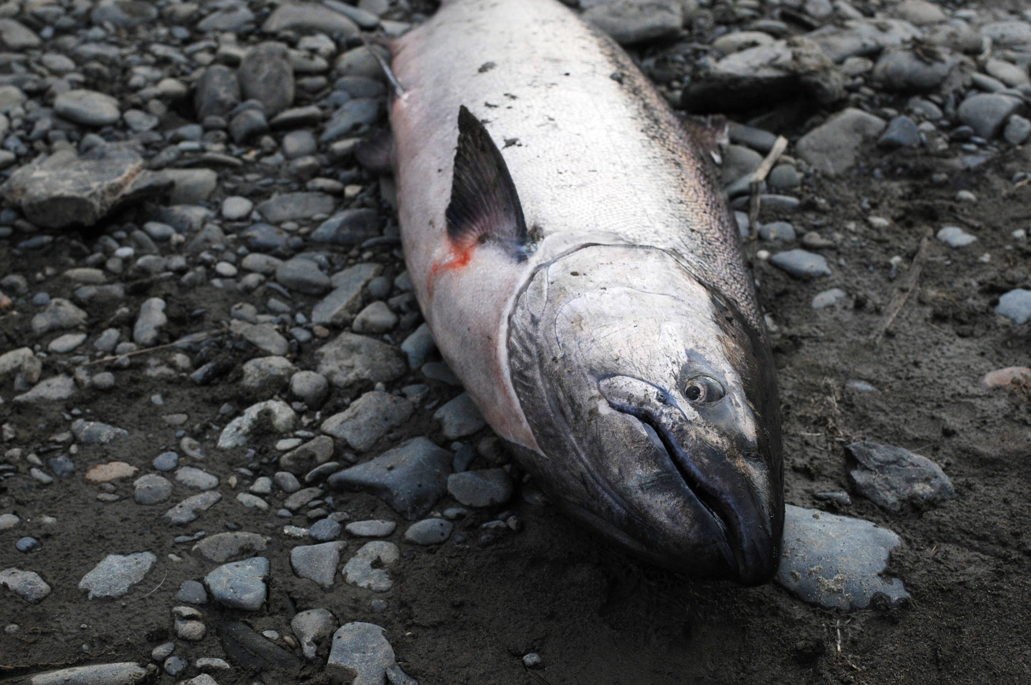 An Anchor River king salmon lies on the bank Saturday, May 19, 2018 in Anchor Point, Alaska. (Photo by Elizabeth Earl/Peninsula Clarion, file)
