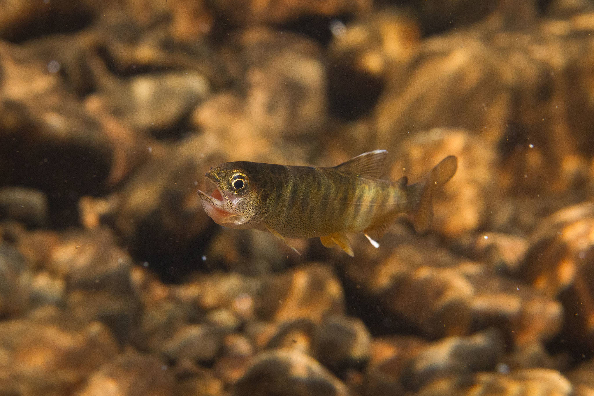 An age-zero coho struggles to swallow a sockeye egg. In warmer streams, juvenile coho are more likely to grow large enough to exploit food subsidies from sockeye salmon. (Photo by Jonny Armstrong)