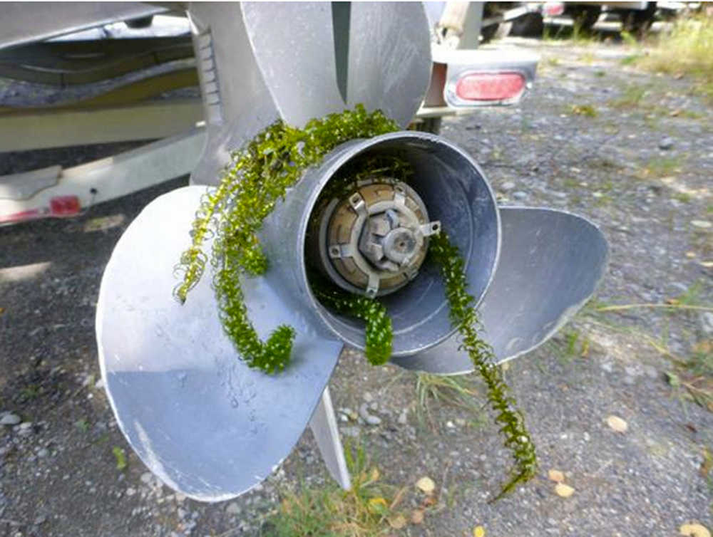 Photo courtesy/Kenai National Wildlife Refuge Invasive plant elodea in one of the many ways it is transported from lake to lake.