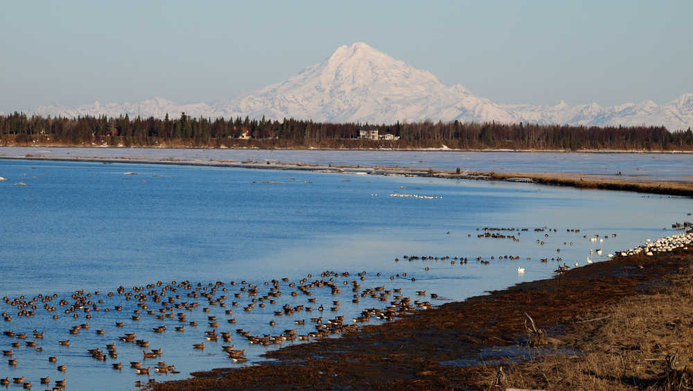 Photo by John Morton, Kenai National Wildlife Refuge Greater White-fronted, Lesser Snow and Canada Geese, and a few ducks (Northern Pintail, Mallard, Green-winged Teal) flock together on the Kenai Flats.