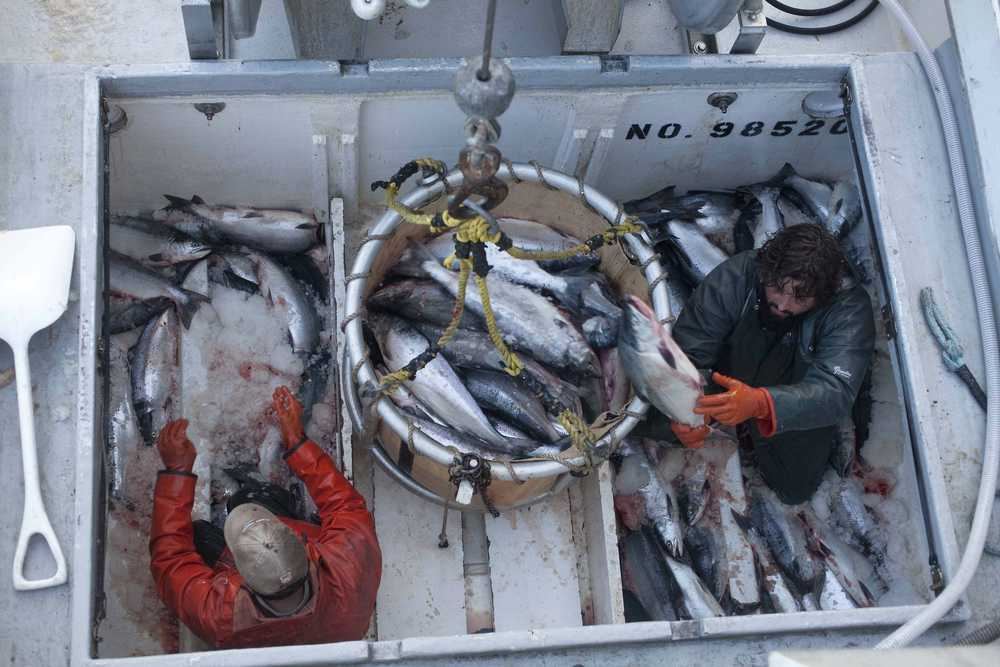 In this July 16, 2012 file photo, commercial fishermen offload the day's catch of salmon from the Inlet Raider. The Alaska Department of Fish and Game has predicted a harvest of about 3.7 million sockeye salmon during the 2015 fishing season.