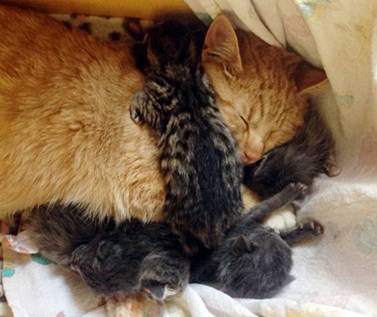"""In this May 11, 2015 photo, Henry, a male cat cares for some kittens at a home in Ketchikan, Alsaka. Six abandoned kittens named after the kids in """"The Brady Bunch"""" TV series are getting a nurturing boost from an unlikely source - the male cat with a slight neurological disorder. (Heather Muench/Ketchikan Humane Society via AP)"""