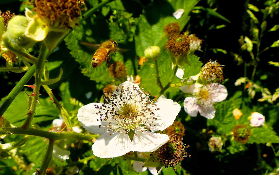 This June 10, 2015 photo shows a honeybee about to descend on a blackberry blossom growing near Langley, Wash. Hundreds of flowers, shrubs, trees and vines can be used to sustain pollinators. Take a walk around the neighborhood to determine which blooms are the most popular with bees and butterflies and then add similar varieties to your yard. (Dean Fosdick via AP)