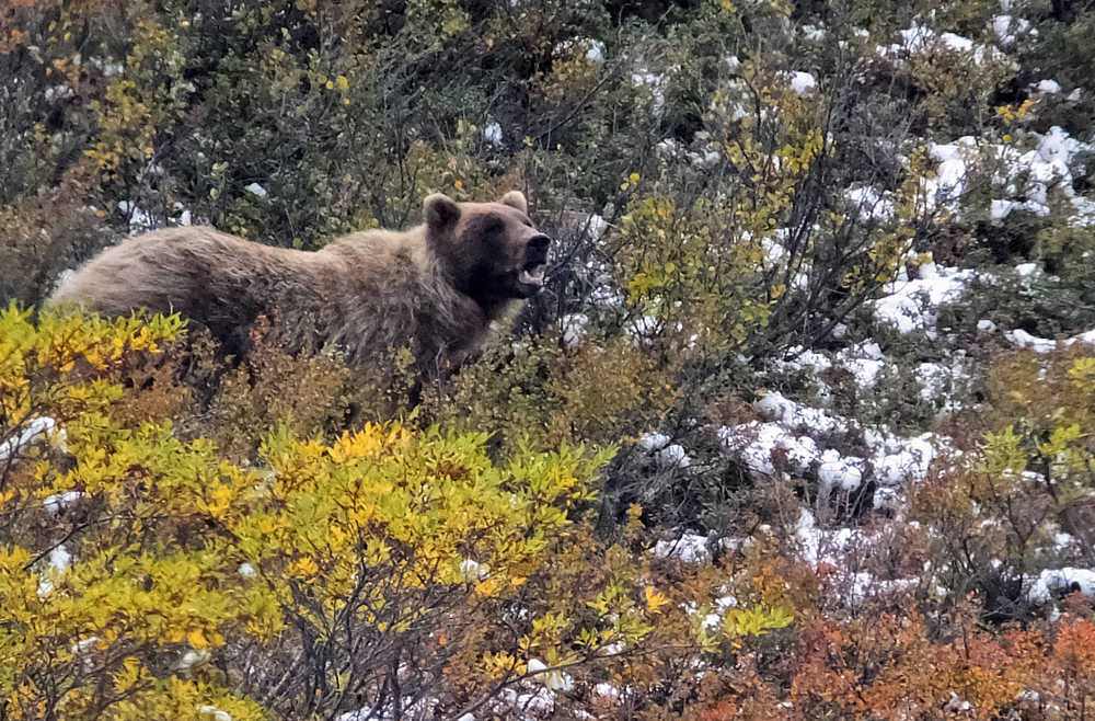 FILE - In this Monday, Aug. 31, 2015, file photo, a grizzly bear looks up from foraging, in Denali National Park and Preserve, Alaska. The summer travel season is winding down at Denali National Park and Preserve, a time of year that sees the vast majority of visitors to this largely wild place. (AP Photo/Becky Bohrer, File)