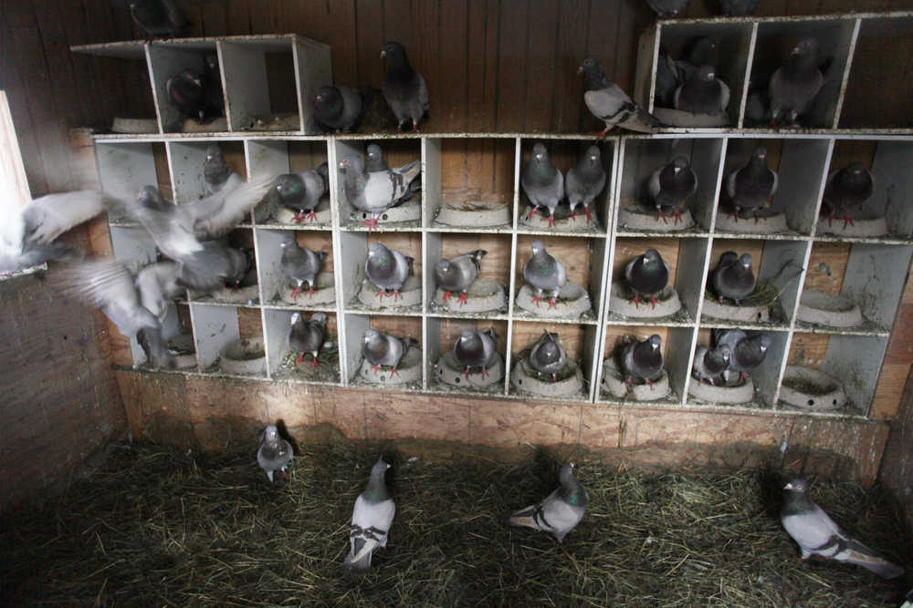 Photo by Kelly Sullivan/ Peninsula Clarion Louise Heite and her husband Steve Dahl have begun raising pigeons to produce squab that they will eventually sell for profit Tuesday, March 15, at her home on Eagle Glade Farm in Nikiski, Alaska.