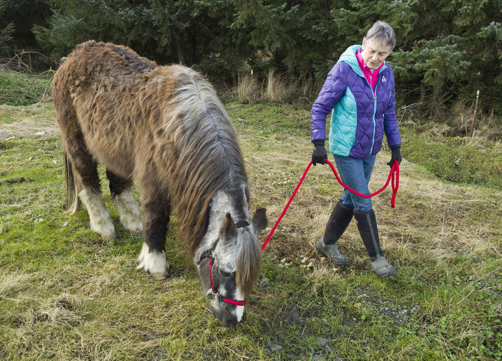 ADVANCE FOR WEEKEND MARCH 19-20, 2016 AND THEREAFTER -- In this March 4, 2016 photo, Dr. Susan Hunter-Joerns takes Sammy the Wonder Pony on a walk at the Fairweather Equestrian Center in Juneau, Alaska. Sammy turned 42 in February, which is anywhere between 120-160 years in human years, Hunter-Joerns said.   (Michael Penn/Juneau Empire via AP)