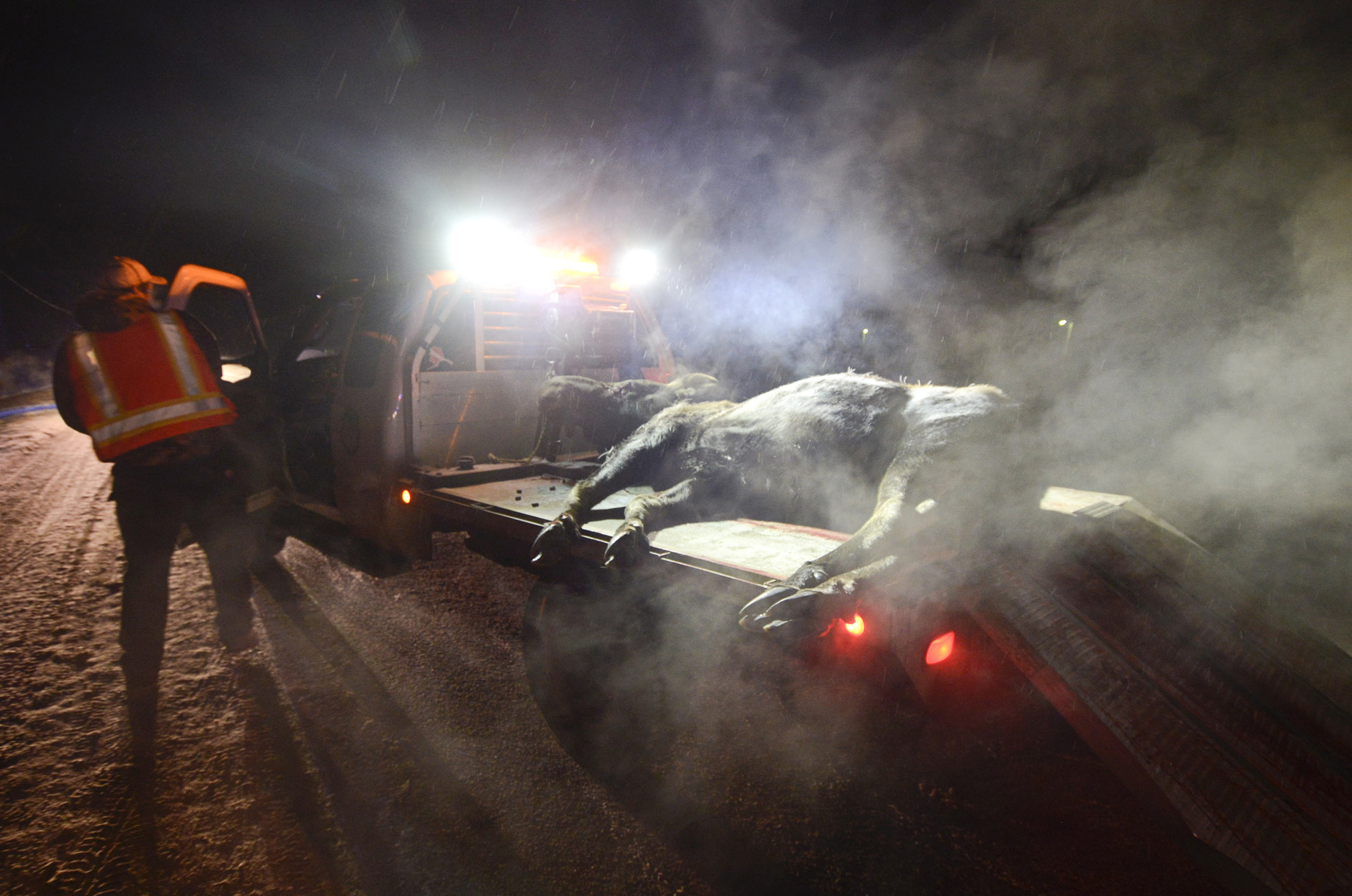 Moose-vehicle collisions on track with average for peninsula