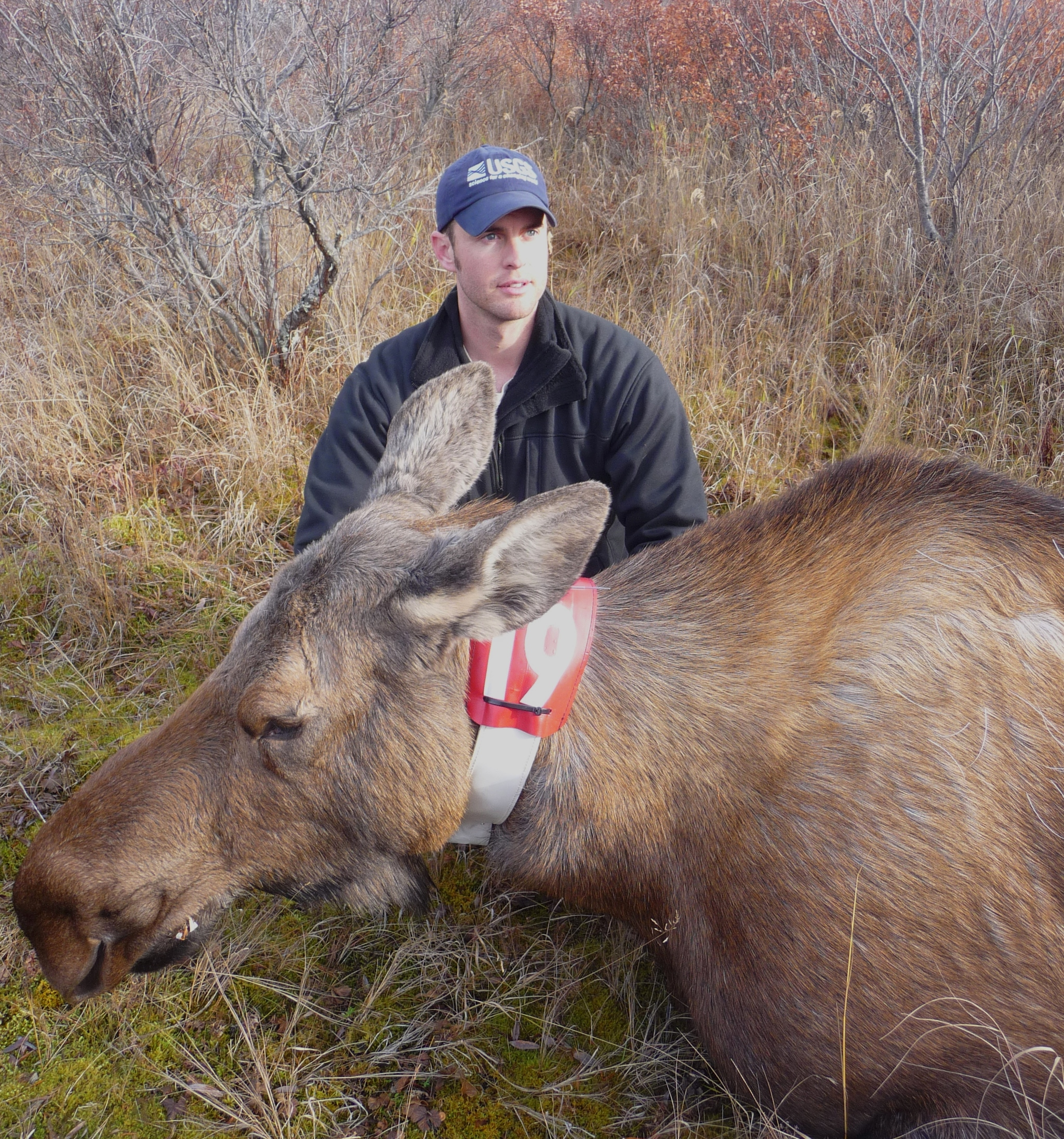 Dom Watts fits a cow moose with a GPS radio-collar for a study of moose reproduction and calf survival on the Alaska Peninsula. (Photo courtesy Kenai National Wildlife Refuge)