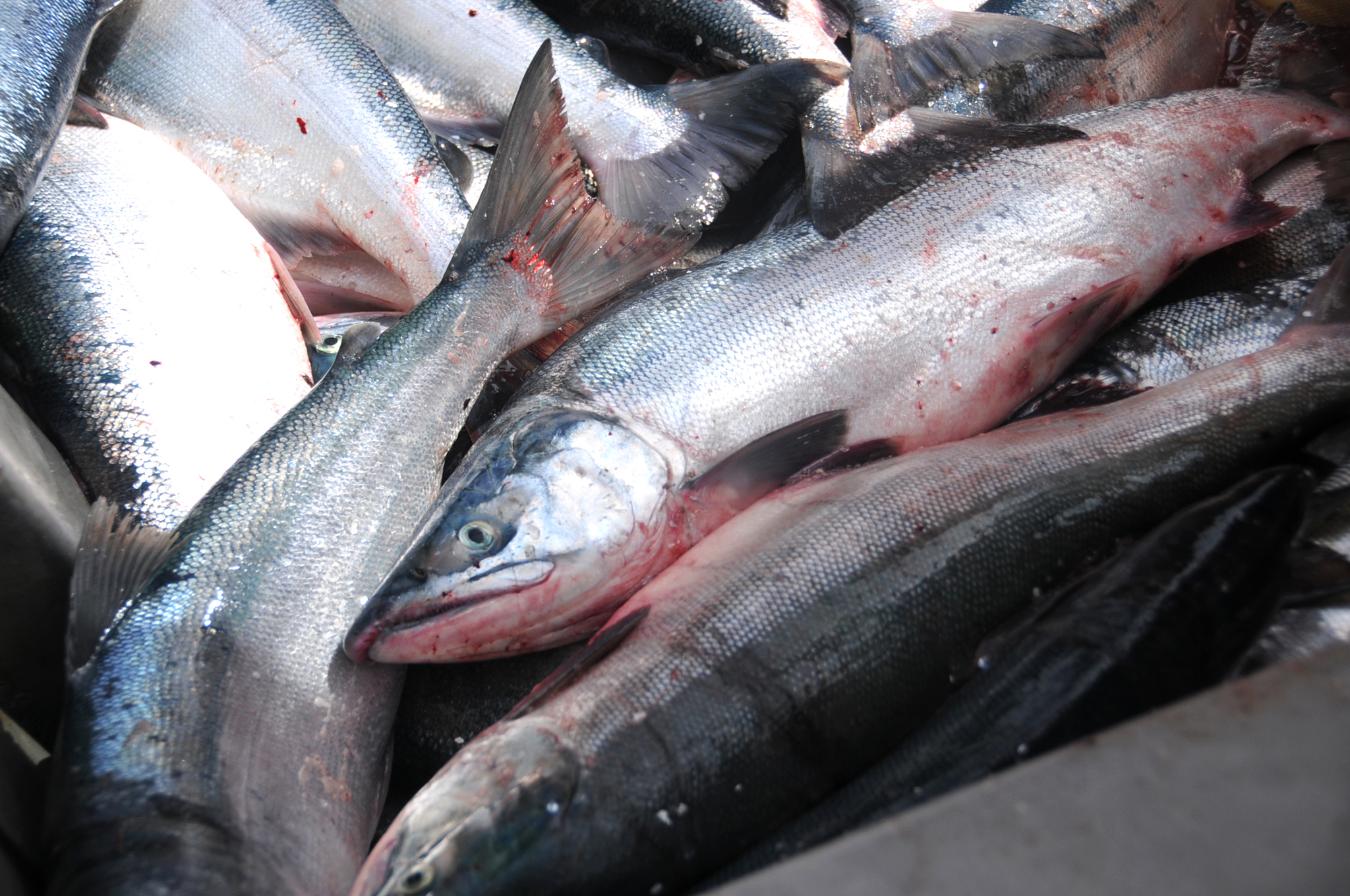 Sockeye salmon caught in a set gillnet wait to be set to the a processor on July 11, 2016 near Kenai. On Tuesday, the Alaska Board of Fisheries discussed proposals for Northern District setnetters. (Elizabeth Earl/Peninsula Clarion, file)