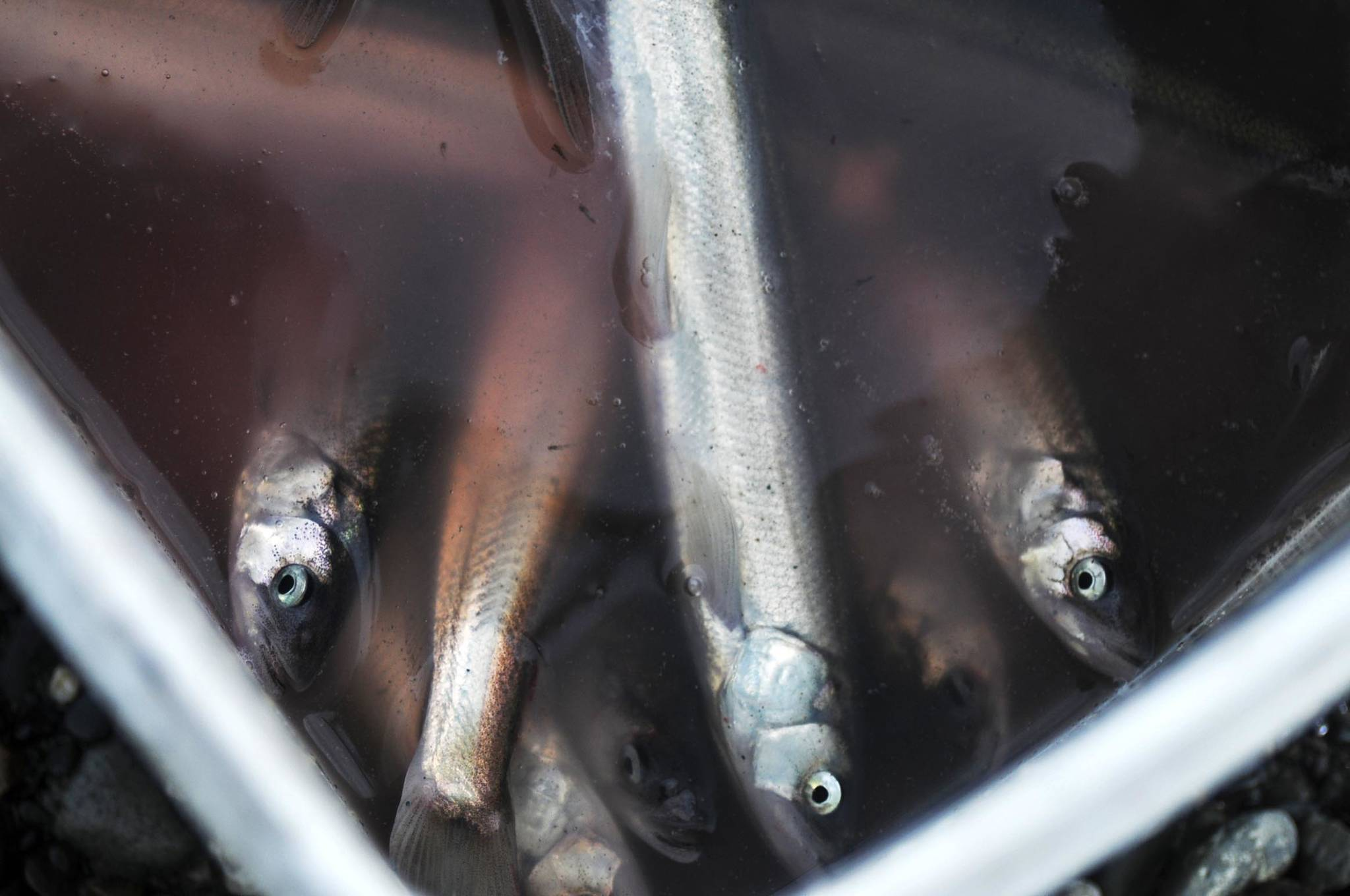 In this May 2016 photo, harvested eulachon float in a personal use fisherman's bucket on the north bank of the Kenai River in Kenai, Alaska. Eulachon, also called hooligan, are a type of smelt that returns in schools to rivers all over Southcentral Alaska each spring. The state Board of Fisheries recently approved a measure doubling the quota a small comercial fishery in Upper Cook Inlet takes from 100 tons to 200 tons each year, a small fraction of the total estimated biomass of about 48,000 tons, according to a Feb. 9 memo from the Alaska Department of Fish and Game. (Elizabeth Earl/Peninsula Clarion, file)