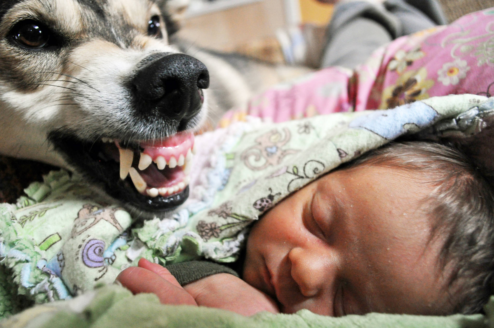 """Metoo the sled dog protects baby Lynx. The challenge of bringing home a newborn daughter to a life with 40 dogs is just one of the stories shared in """"Life with Forty Dogs,"""" by Kasilof musher Joseph Robertia, which came out Tuesday, April 4, 2017. (Photo courtesy Joseph Robertia)"""