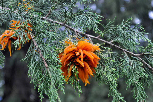This undated photo shows cedar apple rust infection on cedar in New Paltz, N.Y. Cedar apple rust begins its seasonal cycle on cedar trees and is one of many diseases attacking apples, but not all apple varieties are susceptible. (Lee Reich via AP)