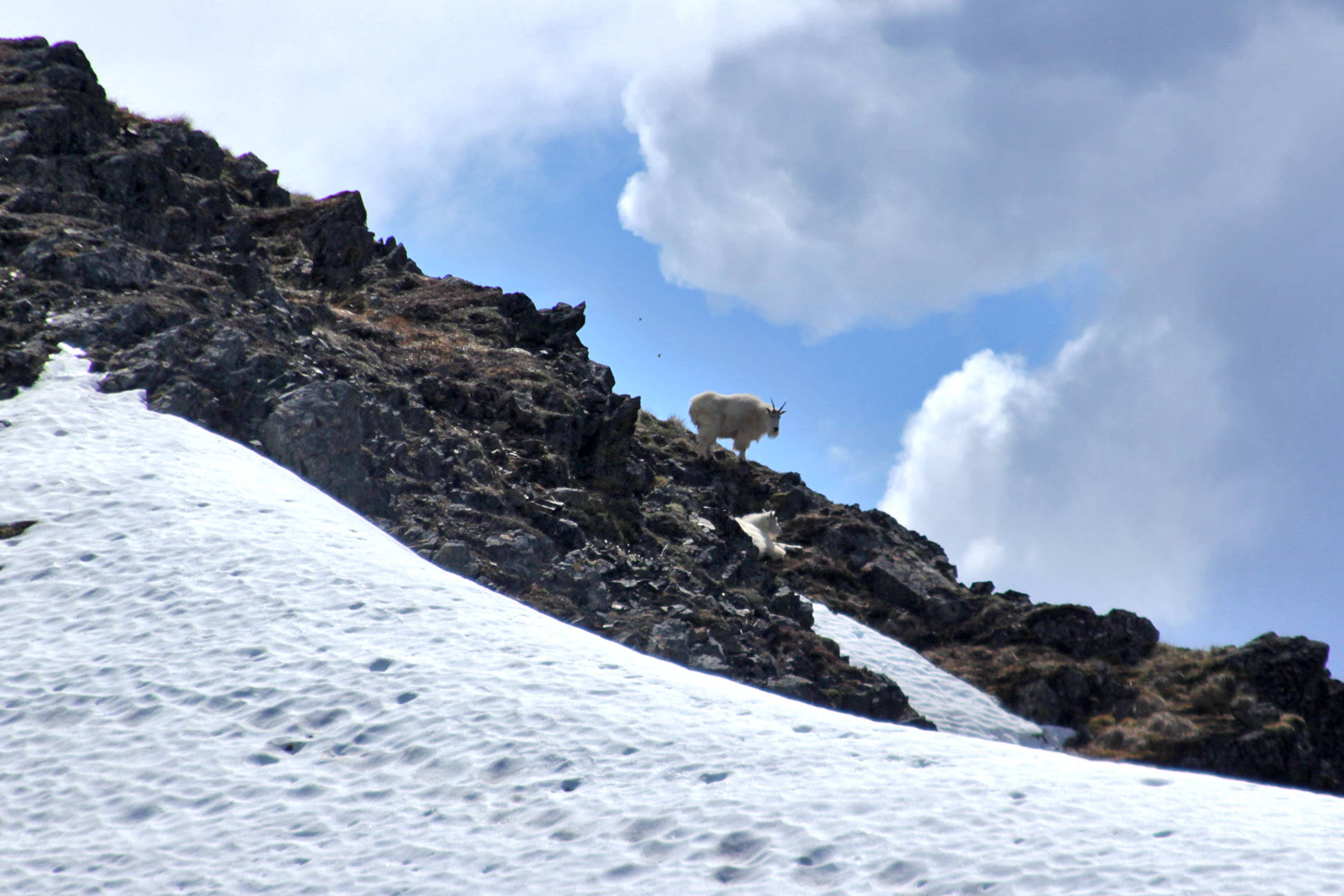 A mountain goat, one of a herd of nine grazing on grasses and lichens on the slope of Point Hope, stands guard atop a ridge on Saturday, June 3, near Hope.