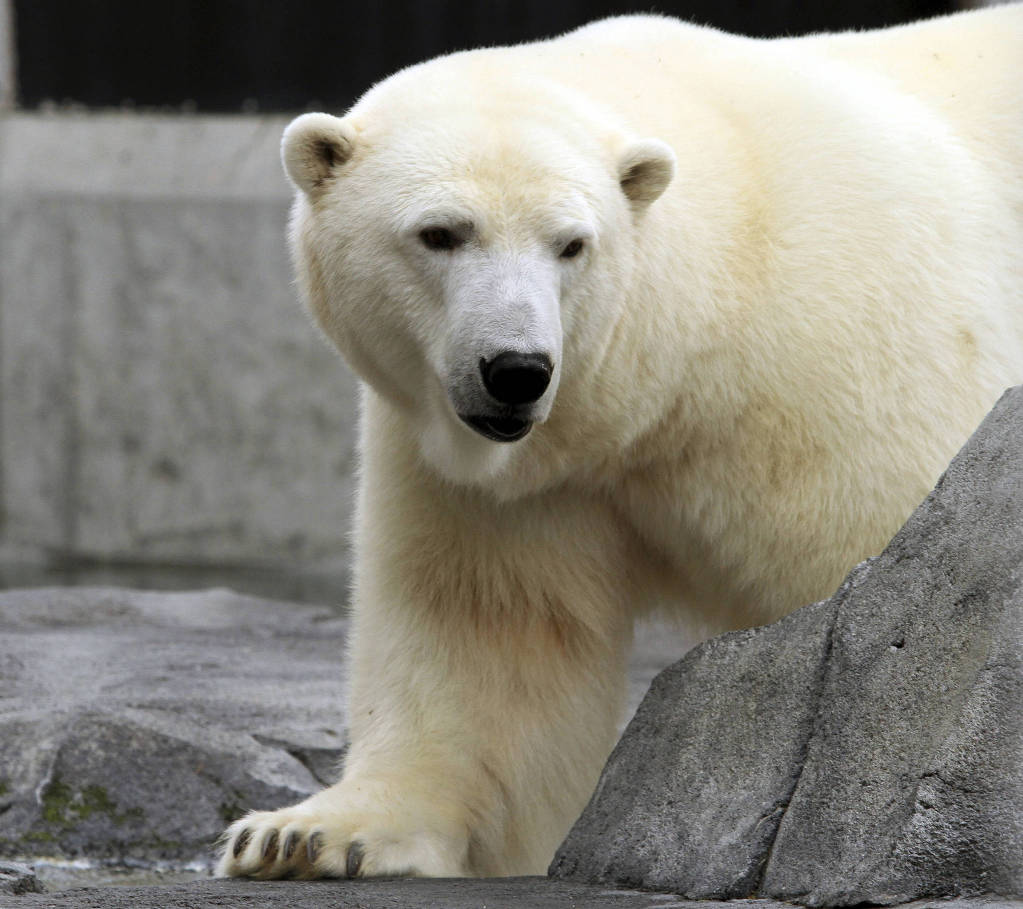 In this Sept. 5, 2012, file photo, Ahpun, a female polar bear, strolls around her cage at the Alaska Zoo in Anchorage, Alaska. The popular polar bear died unexpectedly on New Year's Eve the zoo said Tuesday. (AP Photo/Dan Joling, File)