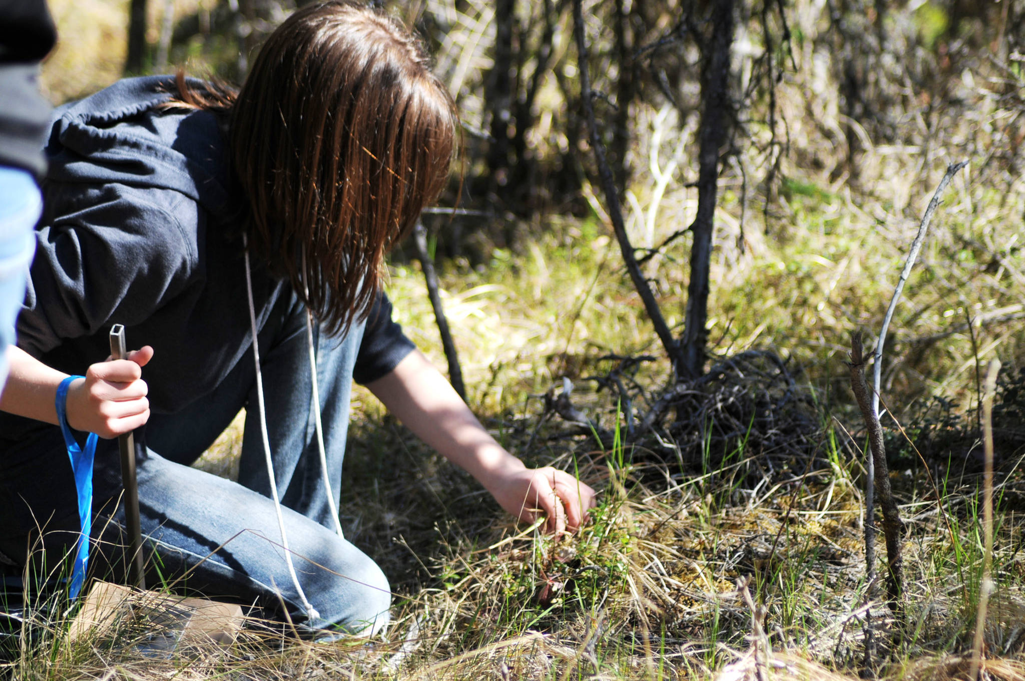 Cadence Cooper, a 6th grade student at Tustumena Elementary, inspects a plant by the side of a trail behind the school on Tuesday, May 22, 2018 in Kasilof, Alaska. (Photo by Elizabeth Earl/Peninsula Clarion)