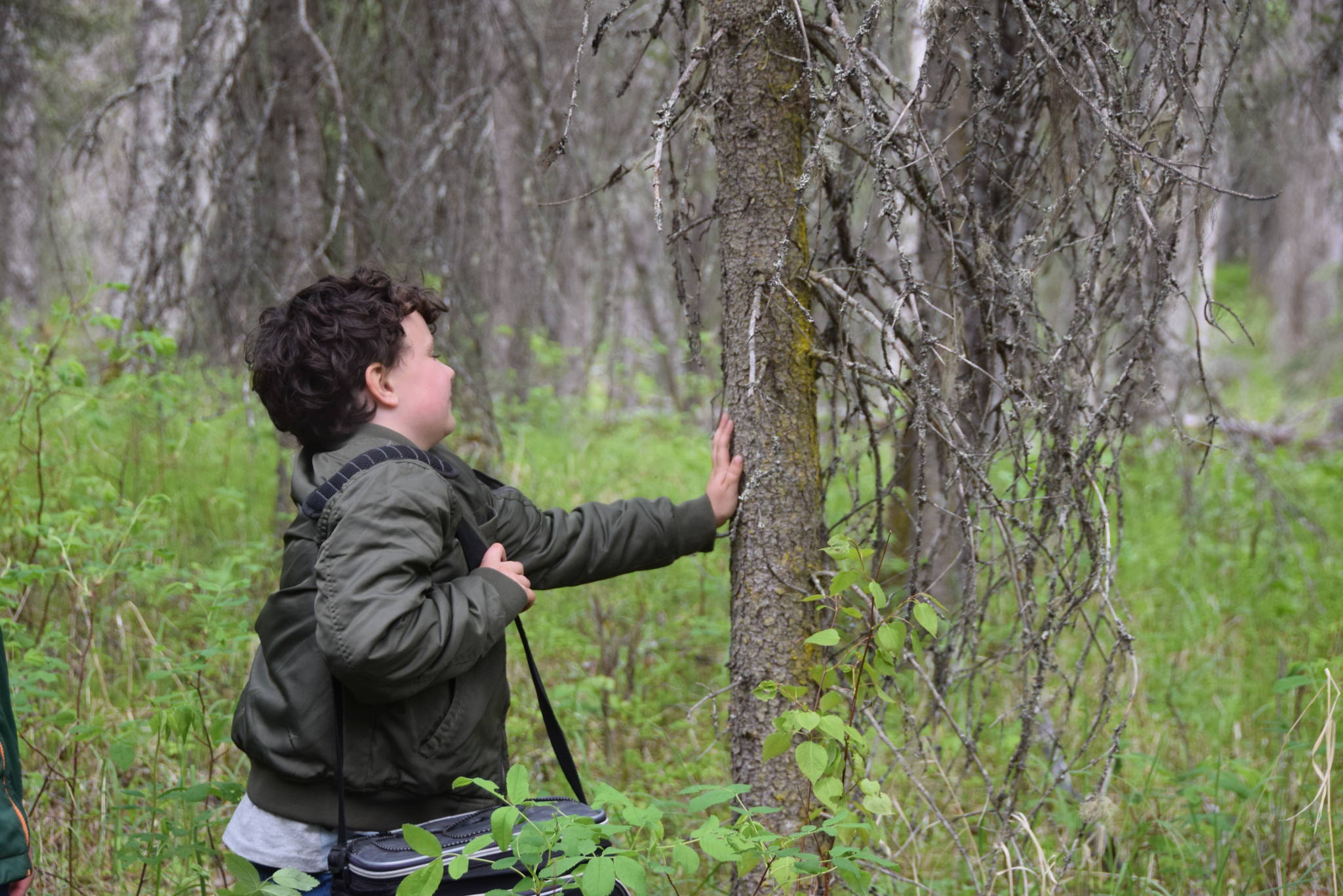 Zachariah Fay attempts to identify a tree without looking during a guided hike on Centennial Trail in the Kenai National Wildlife Refuge on June 1, 2019. (Photo by Brian Mazurek/Peninsula Clarion)