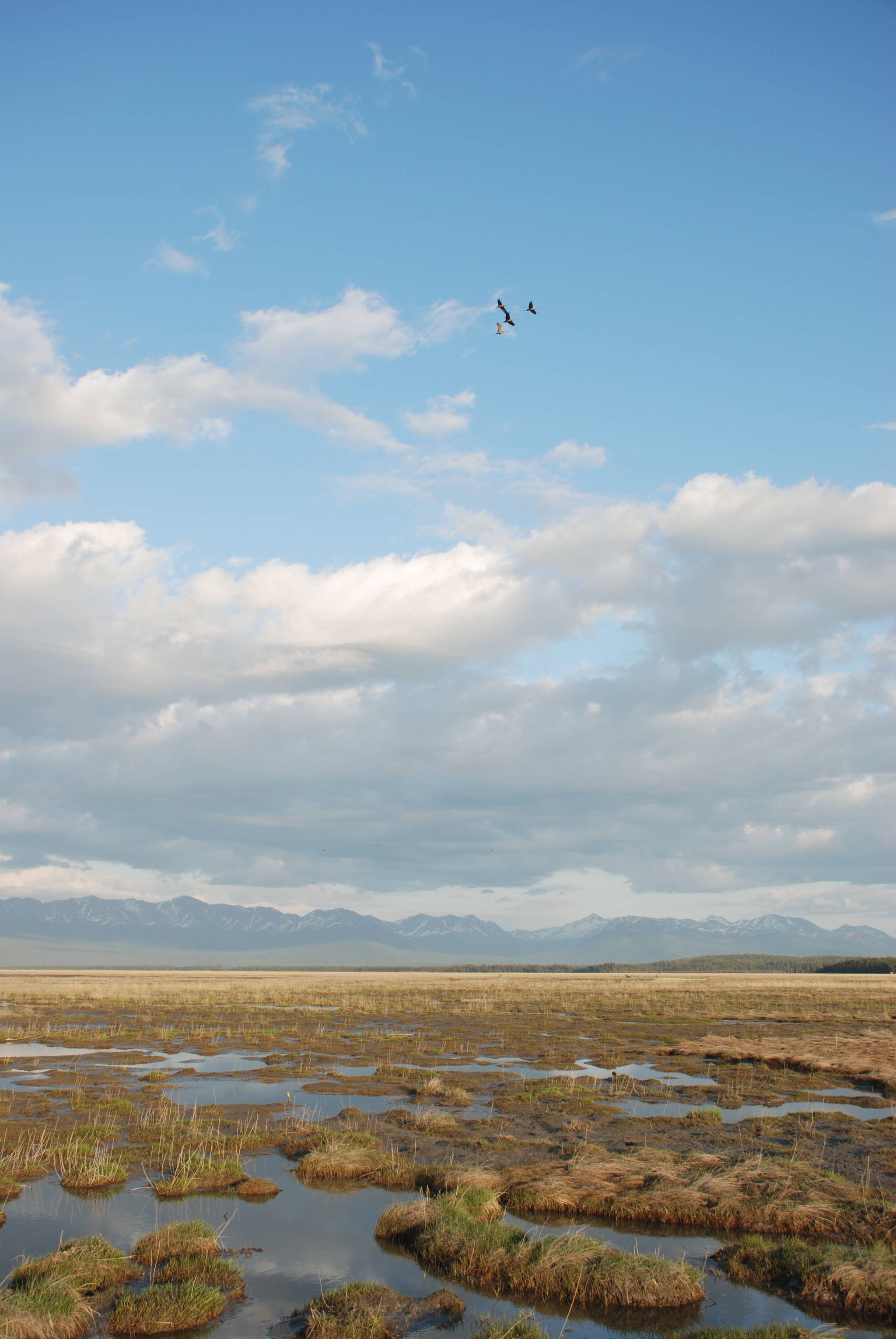 Sandhill cranes fly over salt-tolerant vegetation that is expanding on a slightly tilting but rising Chickaloon Flats decades after the 1964 Good Friday Earthquake. (Photo by John Morton/Kenai National Wildlife Refuge)