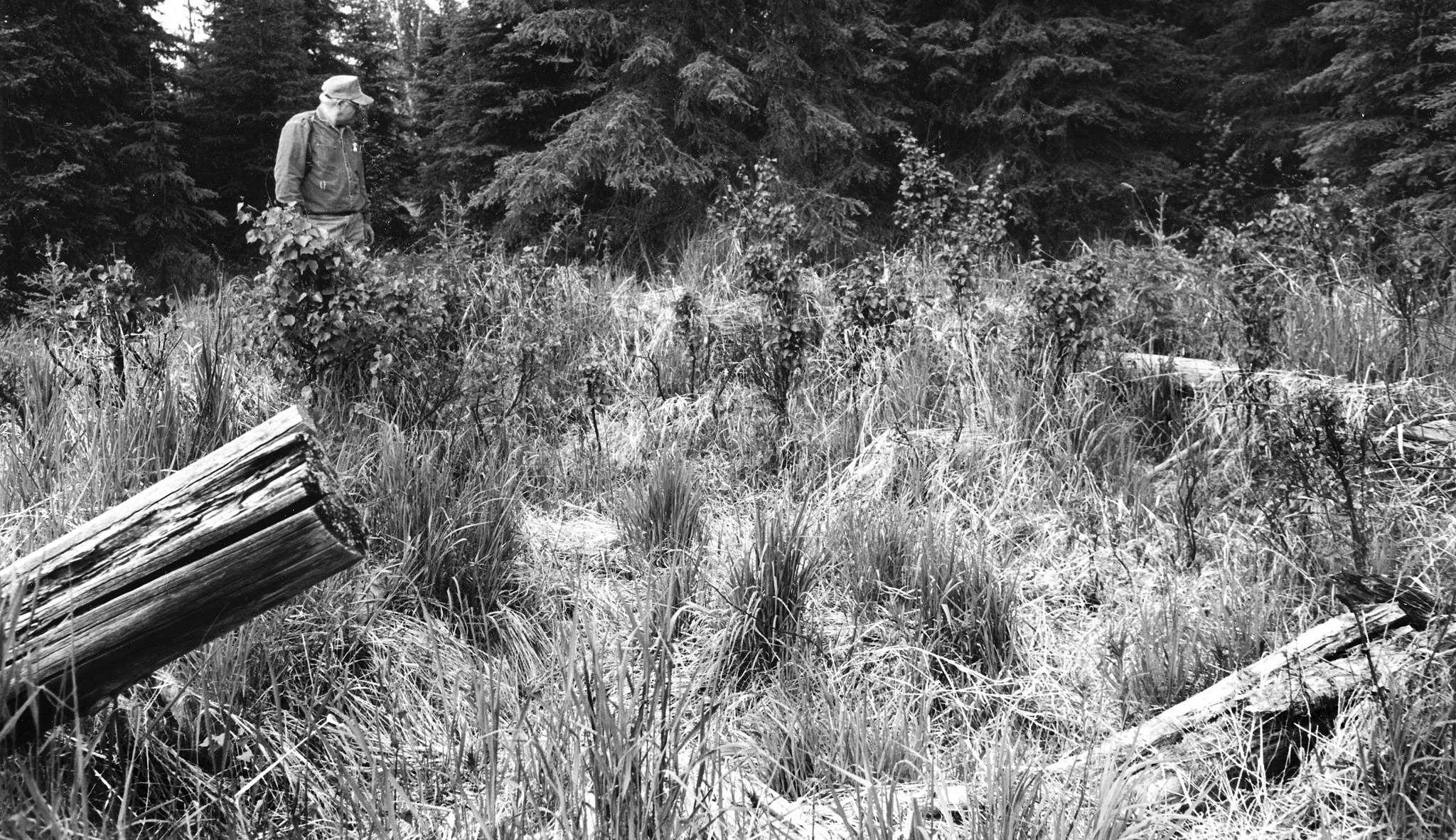 Photo by Clark Fair Drew at King Country Creek cabin remains are pictured in 1999. All that remains of the last King County Creek cabin, just inland from Skilak Lake, are these well-weathered logs, which are difficult to find in the tall grass at that location. ()