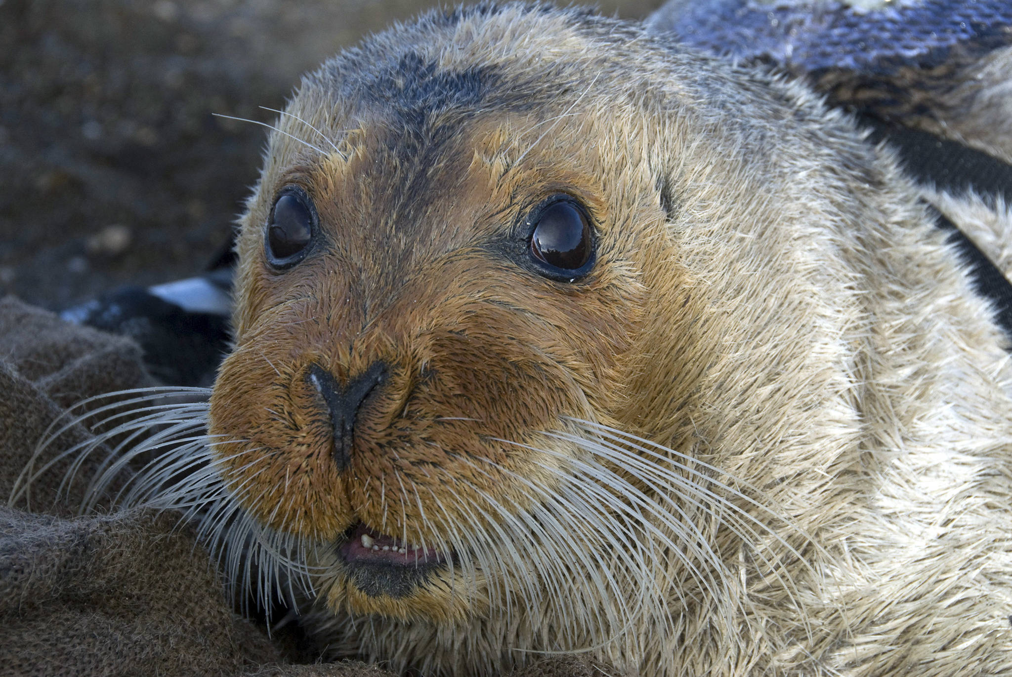 This Sept. 5, 2006, file photo, provided by the National Oceanic and Atmospheric Administration shows a bearded seal in Kotzebue, Alaska. A federal agency will decide by September how much ocean and coast will be designated as critical habitat for two ice seal species found in Alaska. The Center for Biological Diversity announced Monday, Nov. 25, 2019, it had reached an agreement with the Commerce Department for the Trump administration to issue a critical habitat rule for ringed and bearded seals. The Center for Biological Diversity sued in June because no critical habitat had been designated. (Michael Cameron/NOAA Fisheries Service via AP, file)