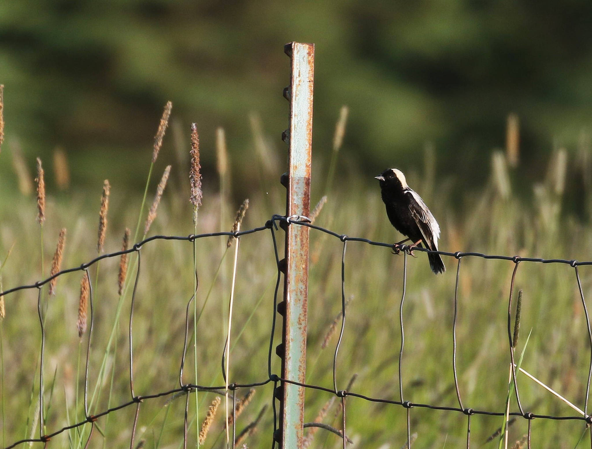 This adult male Bobolink was singing and displaying in a distant field near Homer, Alaska. With the aid of a 500mm lens, astute birders documented the first occurrence of this species on the Kenai Peninsula. (Photo by Sarah Dzielski)