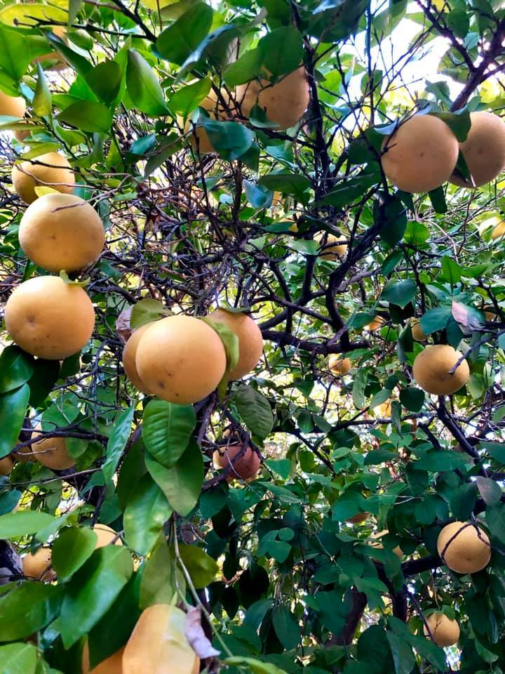 The famous grapefruit tree of Tucson, Arizona. (Photo by Victoria Petersen/Peninsula Clarion)
