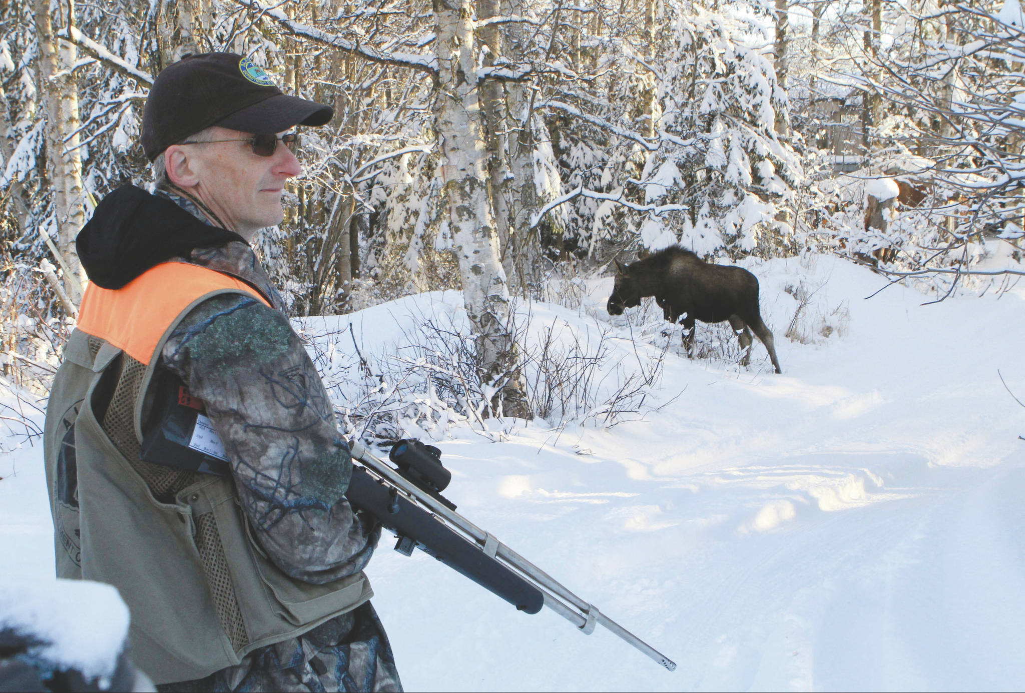In this Feb. 23, 2018, file photo, Dave Battle of the Alaska Department Fish and Game waits for a moose to move off after he fired a dart into its side that's collects a skin sample in Anchorage. Flight rules over the city prevent the department from conducting traditional aerial surveys of moose so the department conducts a ground survey. Using reports called in by citizens, biologists drive to neighborhoods and collect DNA samples with the dart projectors that look like hunting rifles. (AP Photo/Dan Joling, File)