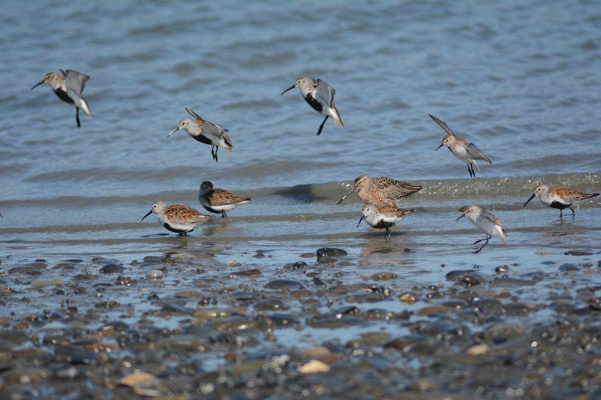 Dunlins, western sandpipers and a dowitcher feed on Saturday, May 2, 2020, on the Homer Spit near Green Timbers in Homer, Alaska. (Photo by Michael Armstrong/Homer News)