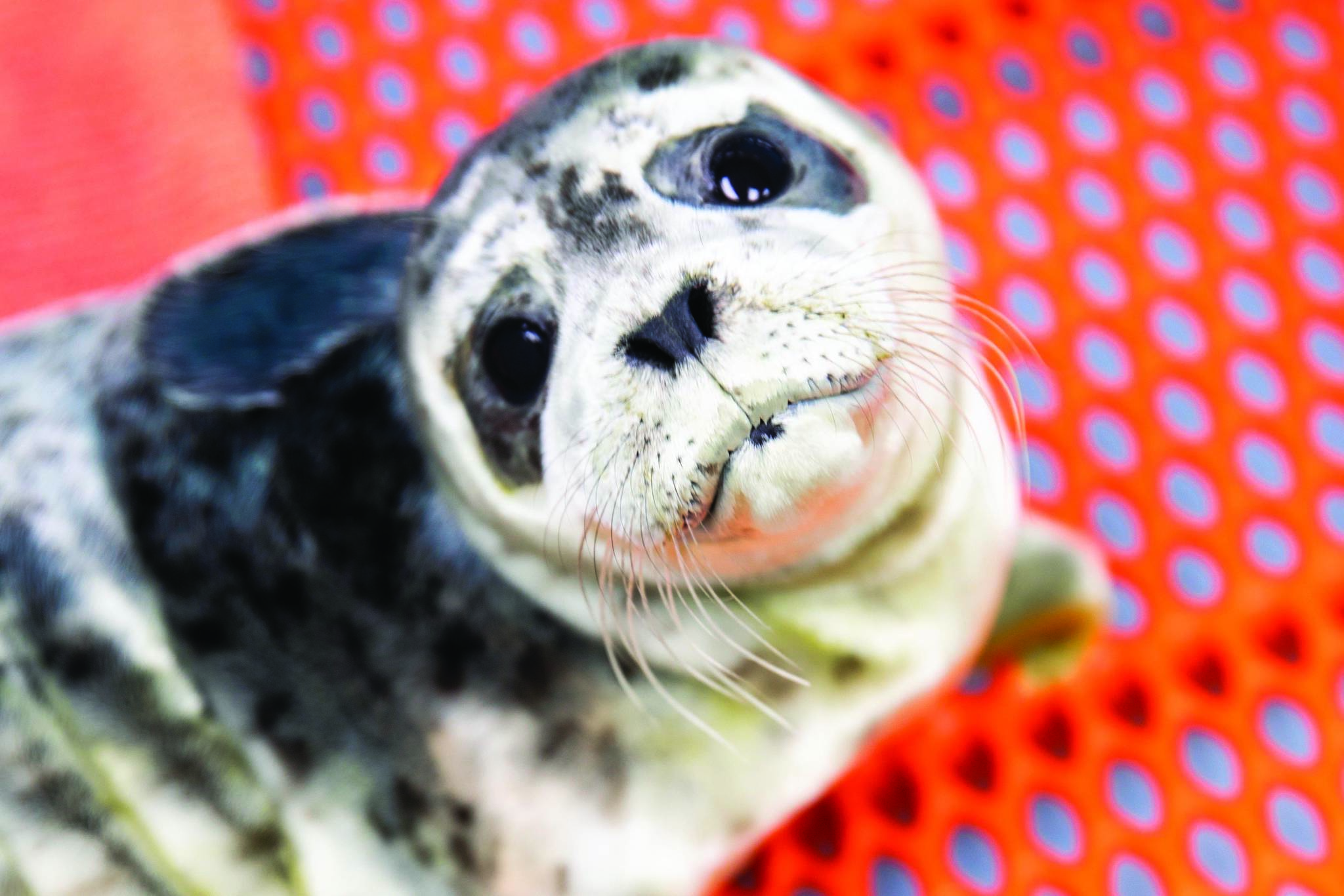 Courtesy Chloe Rossman / Alaska SeaLife Center                                 One of the recently rescued harbor seal pups is seen here at the Alaska SeaLife Center in Seward in this undated photo.