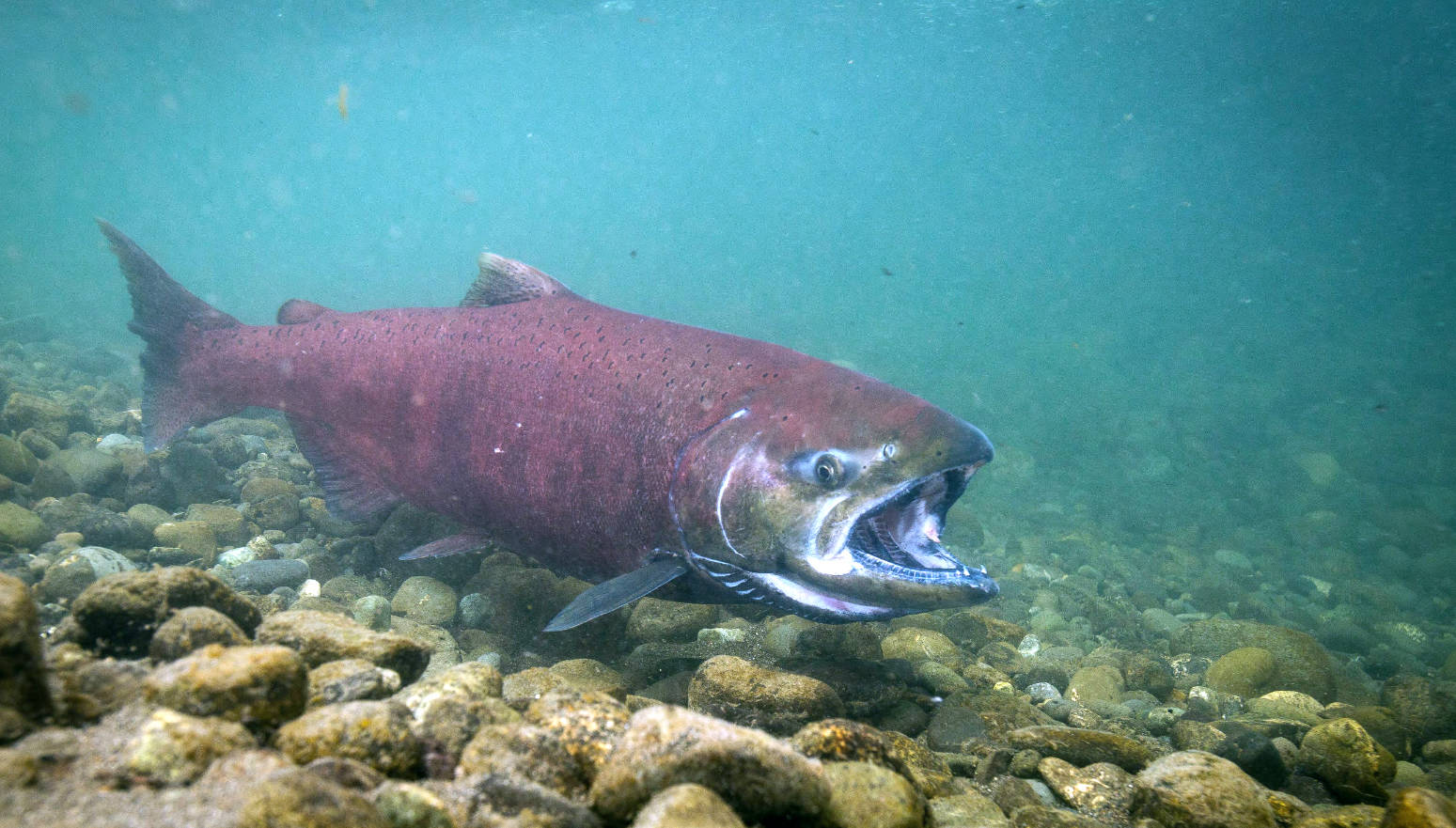 U.S. Fish and Wildlife Service                                An adult chinook salmon swims in Ship Creek in Anchorage in this undated photo.