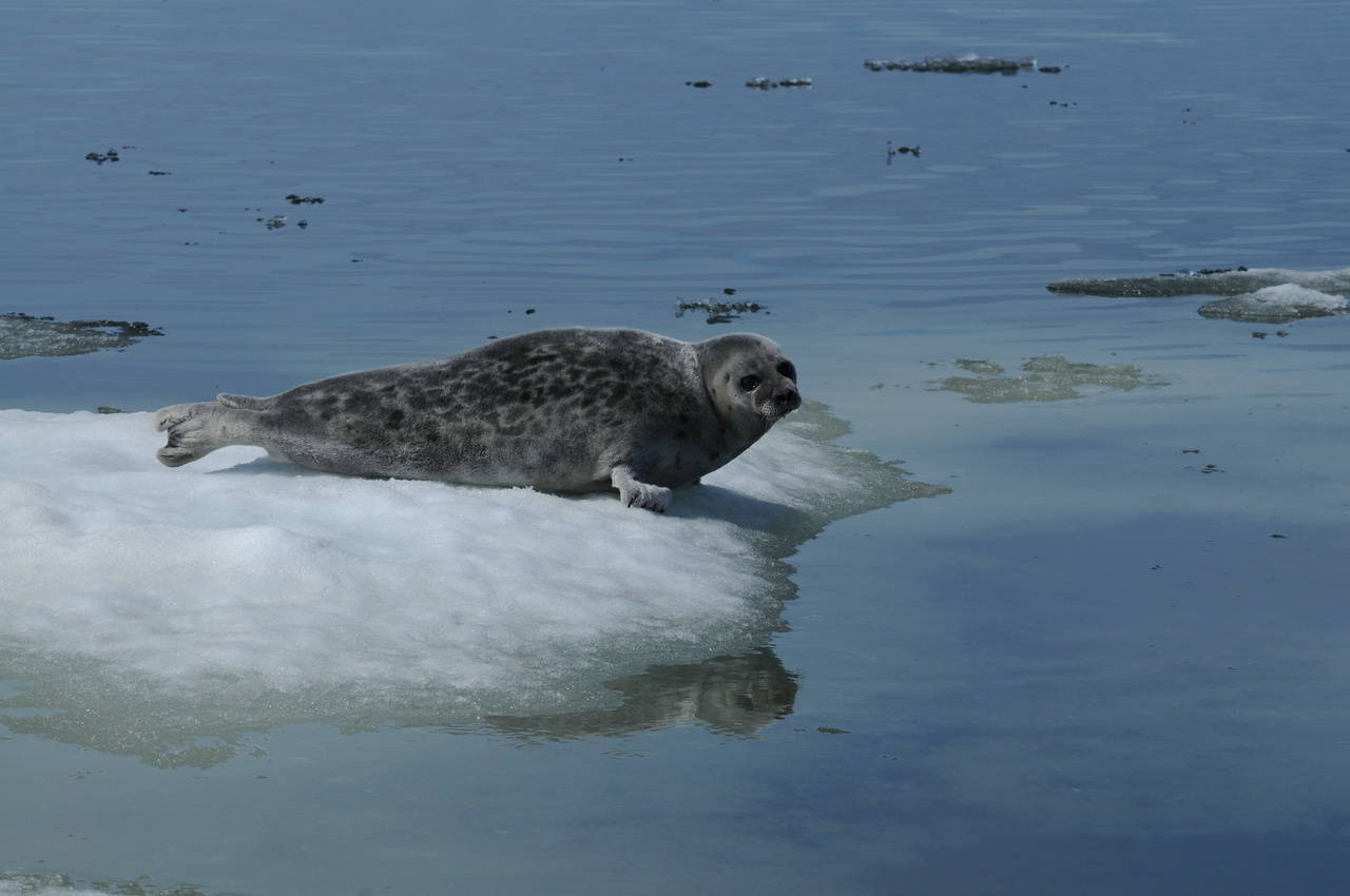 "An Arctic Ringed Seal, which is listed as a ""threatened"" subspecies of ringed seal under the Endangered Species Act. (Courtesy National Oceanic and Atmospheric Administration)"
