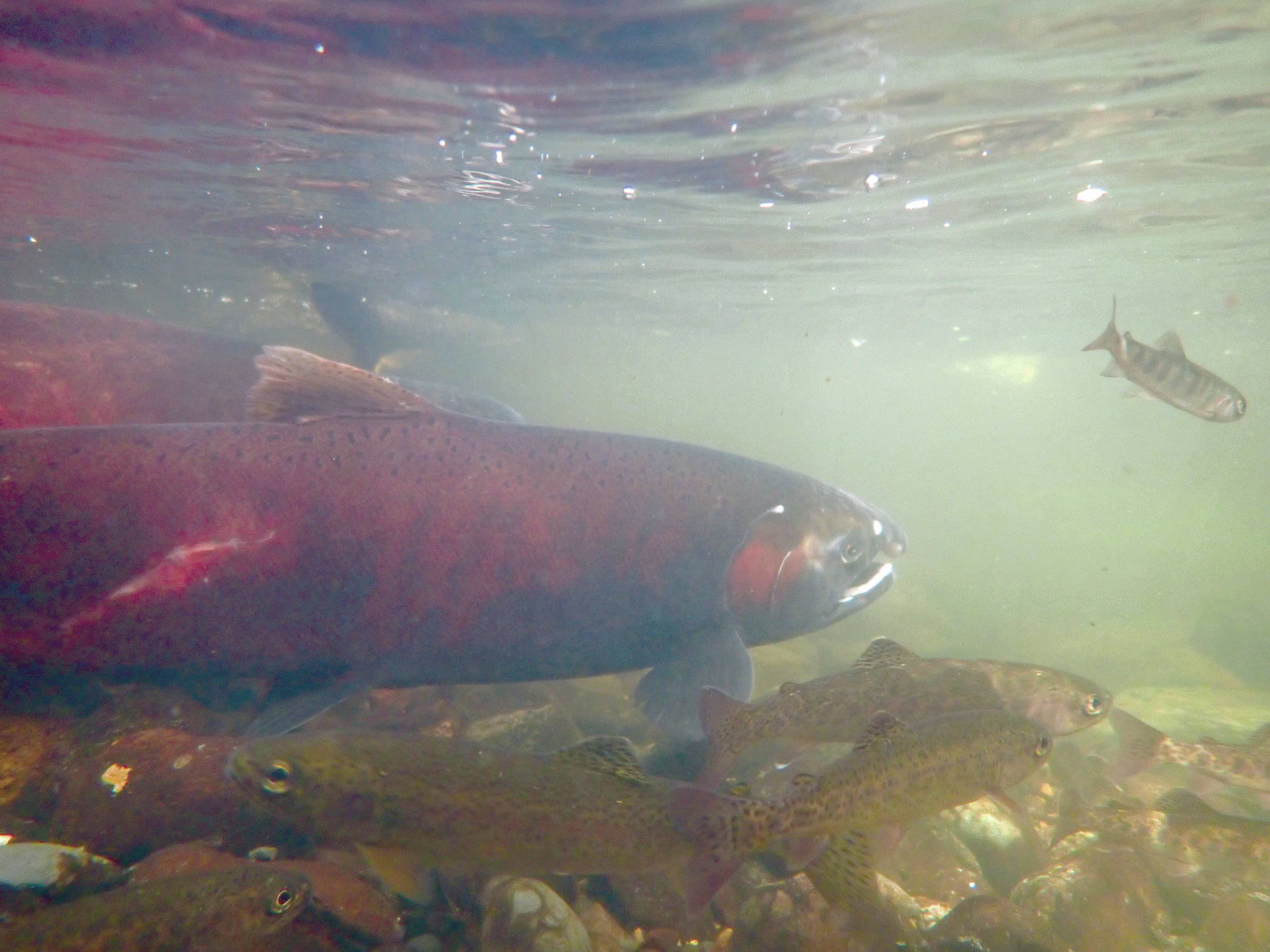 Silver salmon swim in Sucker Creek on Sept. 18, 2020. Surface streams on the Kenai Peninsula and fish in them have far less arsenic in them than in some well water in the area. (Photo by Matt Bowser/Kenai National Wildlife Refuge)