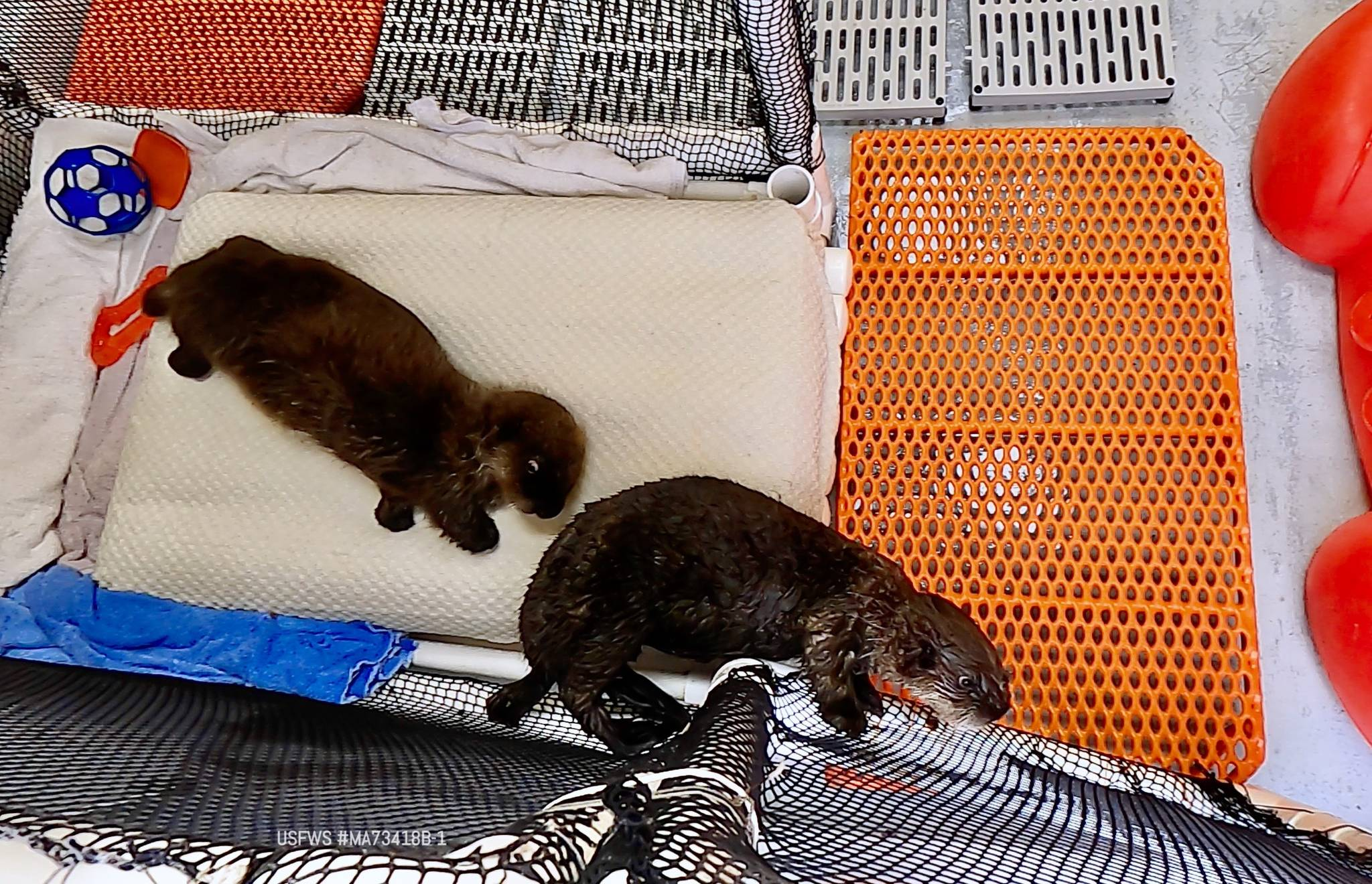 Sea otter pups Juniper (left) and Pushki meet each other for the first time at the Alaska SeaLife Center in Seward, Alaska. (Photo courtesy Alaska SeaLife Center)
