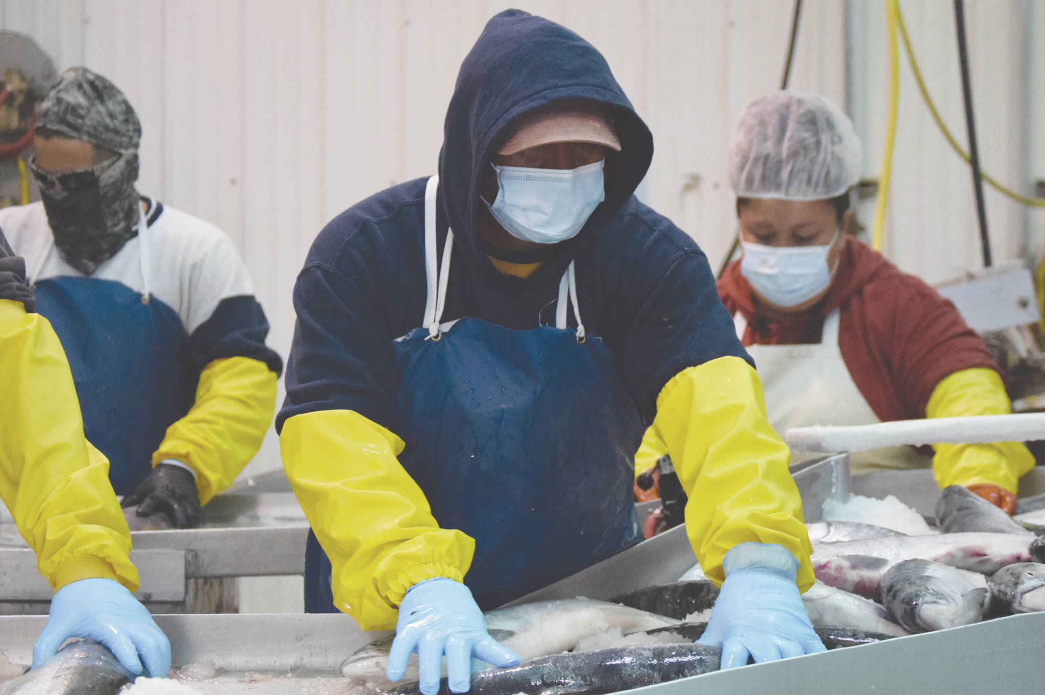 Joseph Lee, of Idaho, backed by Ivan Zarate, of Arizona, and Abiud Zarate, of Baja California, Mexico, arrange fish so their heads can be chopped off by a guillotine-style machine Tuesday, July 14, 2020, at Pacific Star Seafoods in Kenai, Alaska. (Photo by Jeff Helminiak/Peninsula Clarion)