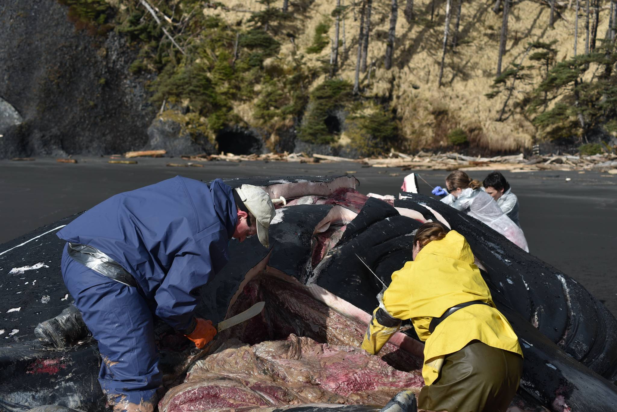 Volunteers with the Alaska Marine Mammal Stranding Network perform a necropsy on a beached humpback whale on Kuzof Island on Thursday, March 18, 2021. (Courtesy photo / Alaska Marine Mammal Stranding Network)